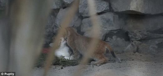 Domesticated cat plays with and feeds adopted baby lynx after its own mother rejected it