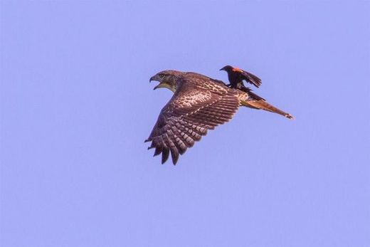Red-winged blackbird rides on red-tailed hawk's back
