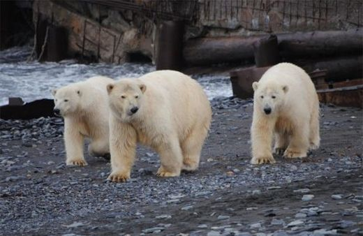 Hungry polar bears surround weather station on Vaygach island in north Russia.
