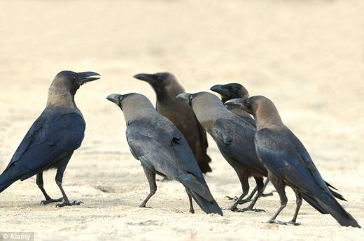 The mystery of 'crow funerals' solved: Scientists say birds are trying to learn about potential dangers to their own lives