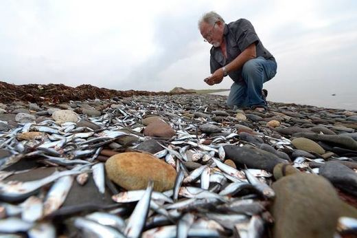 Millions of dead fish wash ashore on West Kerry beach, Ireland
