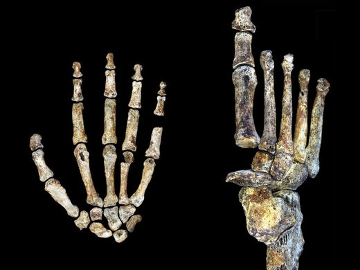 Newly identified human ancestor handy with tools, walked like a person, scientists say