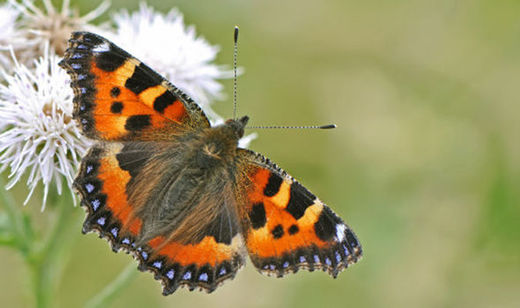 Neonicotinoid pesticides blamed for butterfly decline in the UK