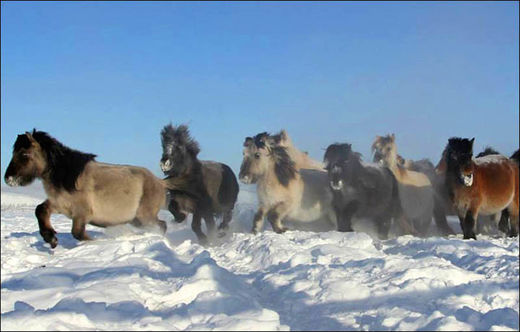 Siberian cold: Yakutian horses adapted to -70C