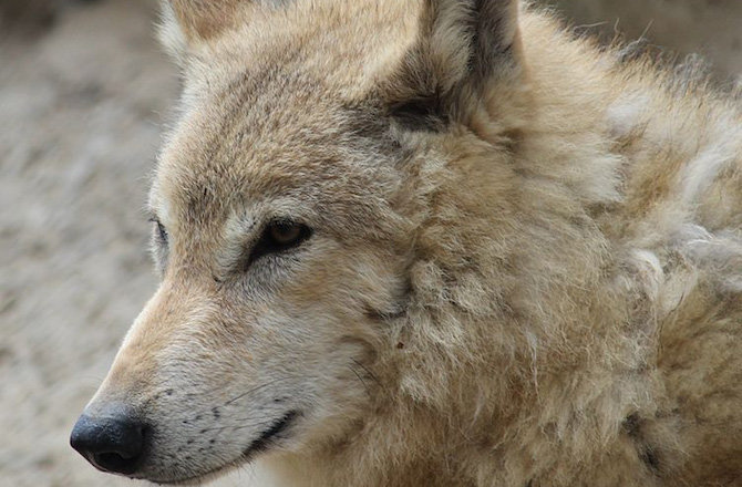 the domestication of the gray wolf Domestication is key to the gray wolf becoming man's best friend the story of  wolf domestication could possibly date back to a single dwelling cave and a lone .