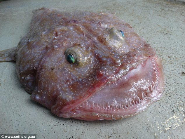 Bizarre Deep Sea Fish Found Off Victoria Coast Australia