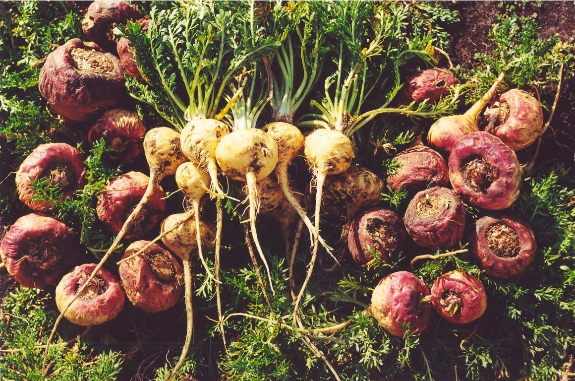 What is maca root for