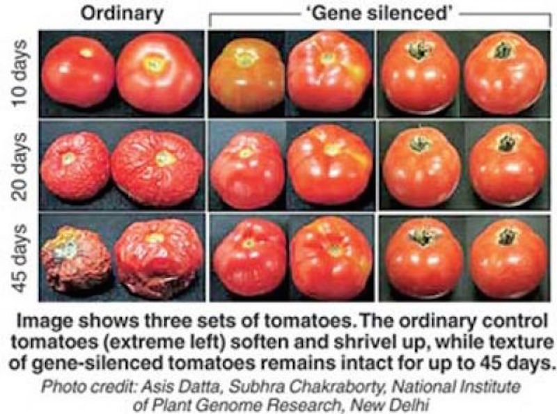 More mad science: GMO tomatoes tweaked to stay firm longer ...
