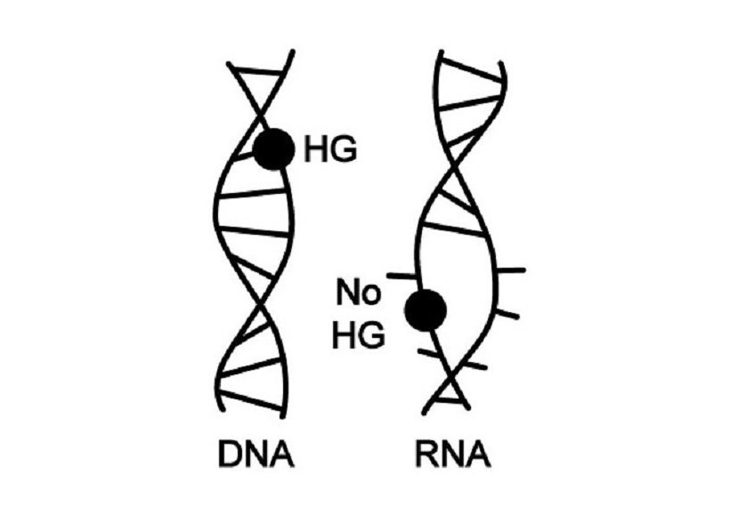Dna and not rna is the main repository of genetic information dna and not rna is the main repository of genetic information science technology sott malvernweather Image collections
