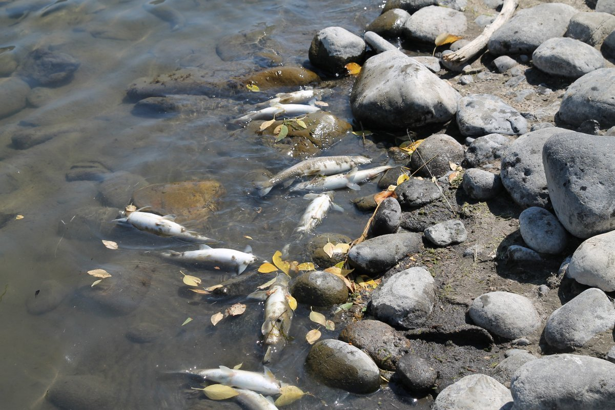39 unprecedented 39 deadly parasite kills thousands of fish for Fishing in yellowstone