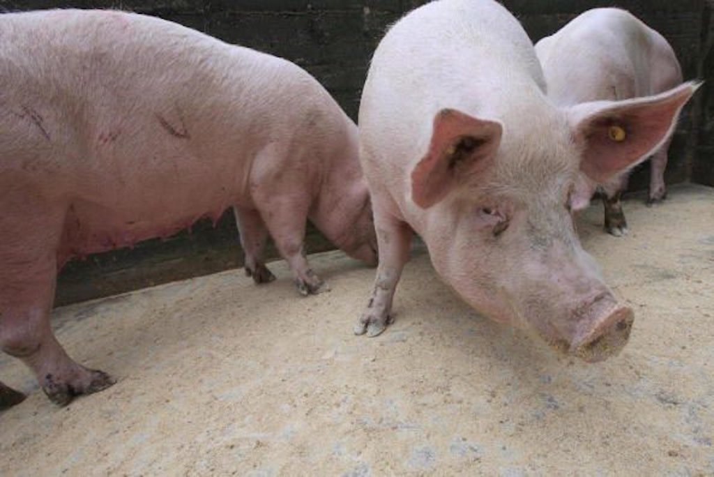 Regulatory failures are allowing superbug-infected pigs to ...