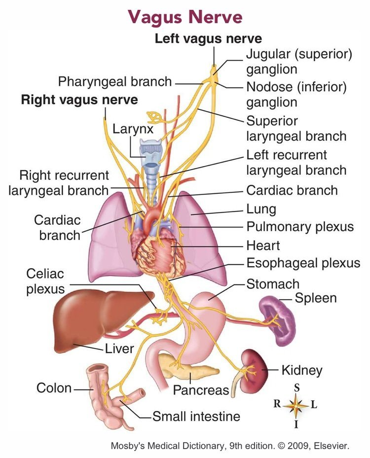 The Vagus Nerve And How It Impacts Health Mood And Performance