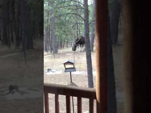 Backyard Tire Swing Offers Light Entertainment To Moose In Colorado     Donu0027t Panic! Lighten Up!    Sott.net