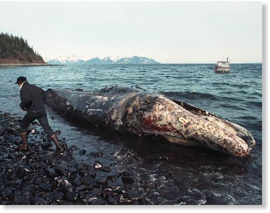 serious damage to wildlife caused by the exxon valdez oil spill The most publicized aspect of the exxon valdez spill was the damage to the wildlife in the surrounding area, especially the animals hundreds of birds, sea otters, fish, shell fish, and marine mammals were killed.