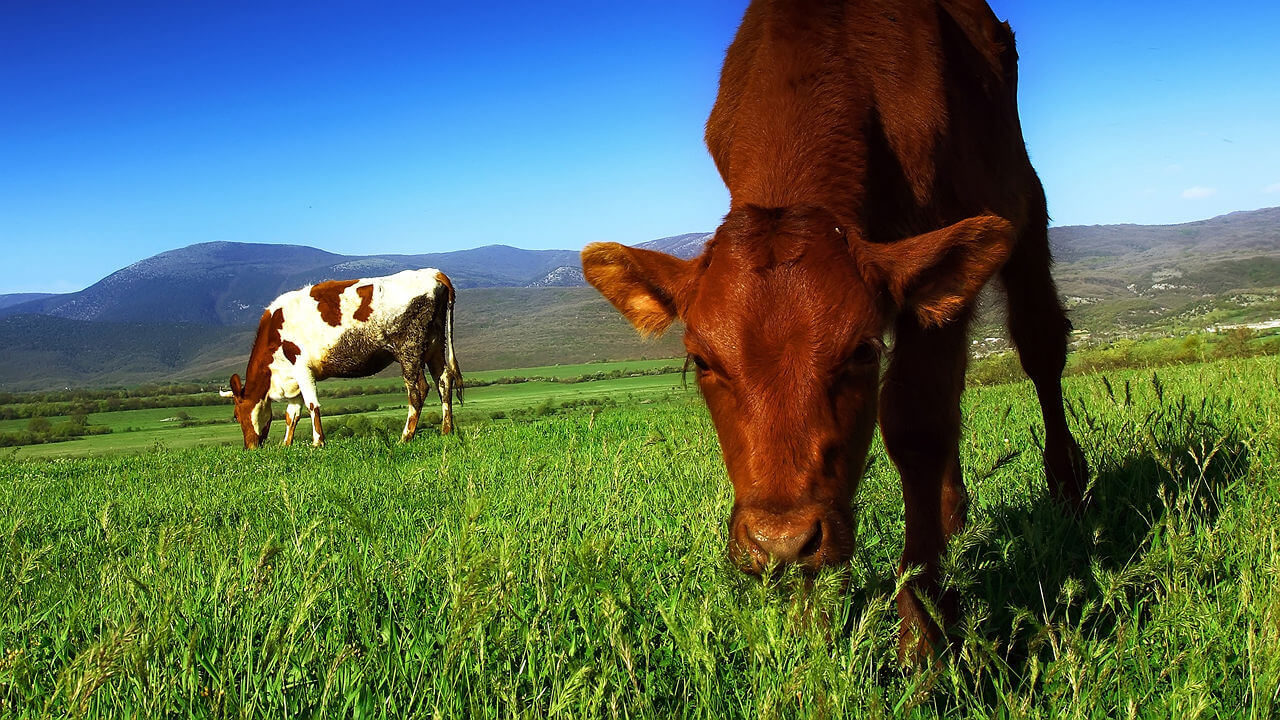 Grass To The Rescue Why Pasture Raised Beef Is Healthier