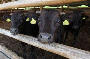 japan,cows