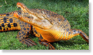 orange crocodile