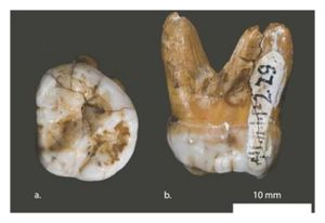Ancient Molar