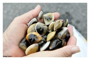 Thousands of Shellfish Found Dead in Peru   20120526_103503_sphshellfish