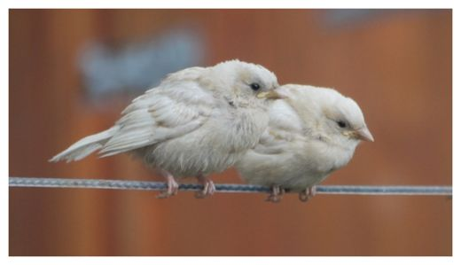 Two rare white sparrows