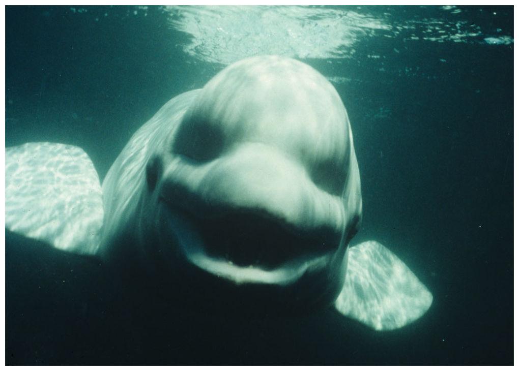 beluga whales cock