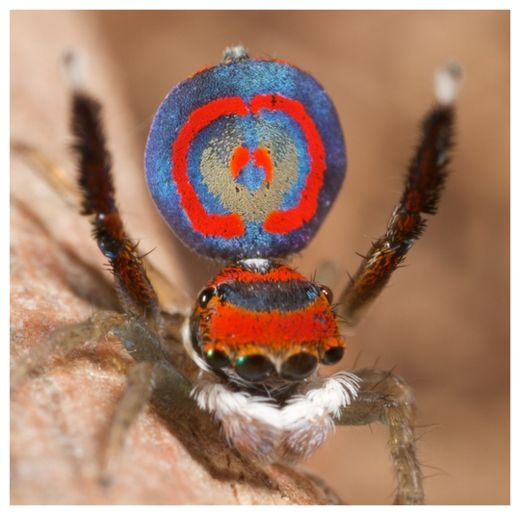 Peacock Spider_3
