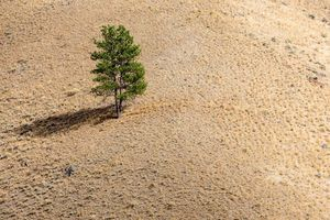 A tree stands alone in the drought-stricken Salmon-Challis National Forest