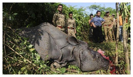 Killed Rhino