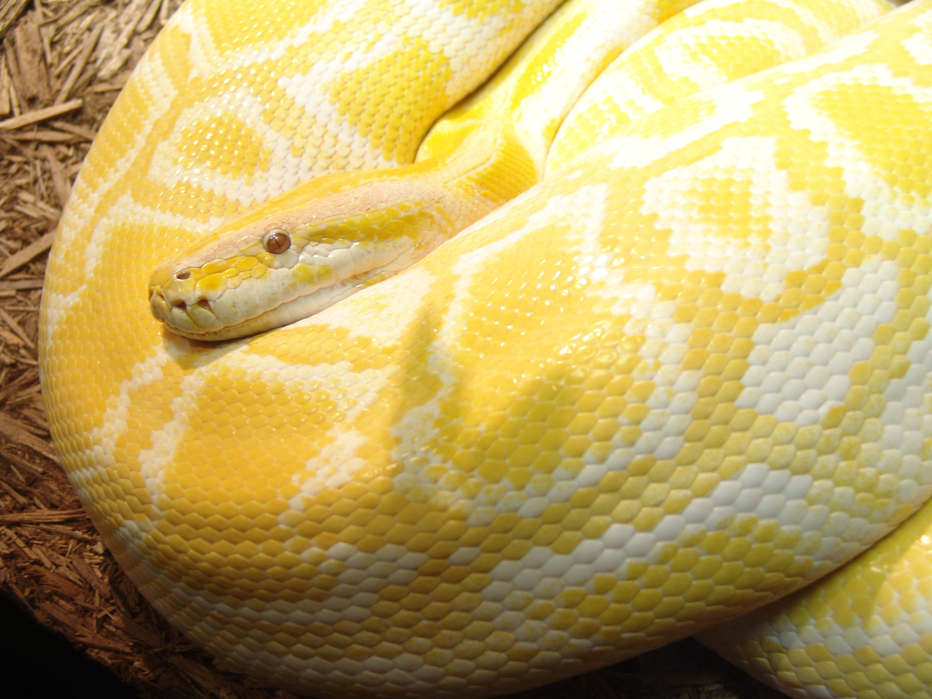 The Burmese Python is ...
