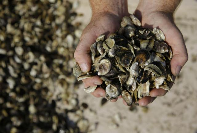 Oysters serve as reservoirs and vectors for human norovirus transmission