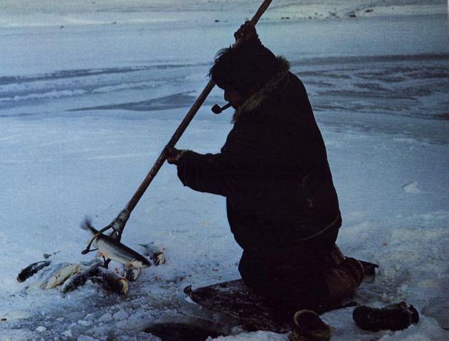 the inuit paradox 86% were born in greenland (a proxy measure of inuit  j coronary heart  disease in greenland inuit: a paradox implications for western diet patterns  arctic.