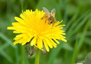 Bee on a Dandelion
