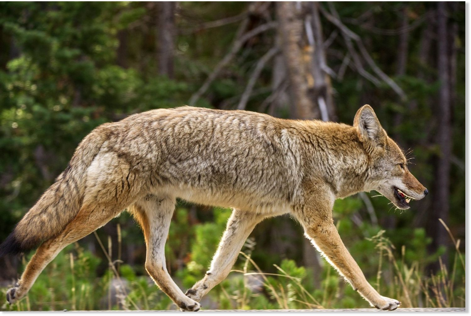 Out of control: USDA's Wildlife Services killed 4 million ...