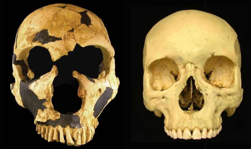Comparison of a Neanderthal skull (left) with that of a Homo sapiens.