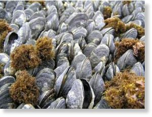 Dead mussels as well as live mussels