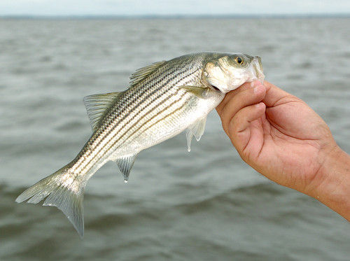 Maryland state issues rockfish warning health for Maryland state fish