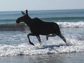MOOSEONBEACH2PIX moose goes swimming on maine beach don't panic! lighten up