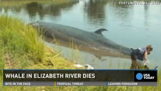 Rare 45-foot sei whale dies in Virginia river