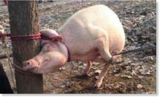 2 Year Old Boy Mauled To Death And Eaten By Pig After