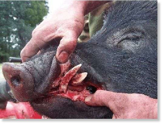 Wild Boar Attacks Human Elderly woman d...