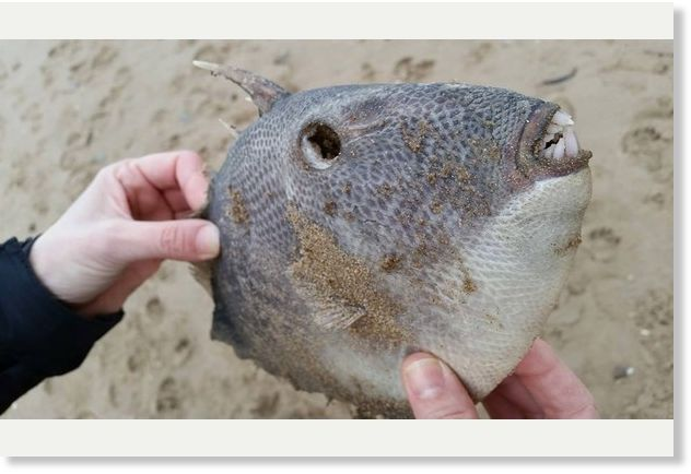 Weird fish with 'rodent-like teeth' found dead on Woolacombe beach, UK -- Earth Changes -- Sott.net