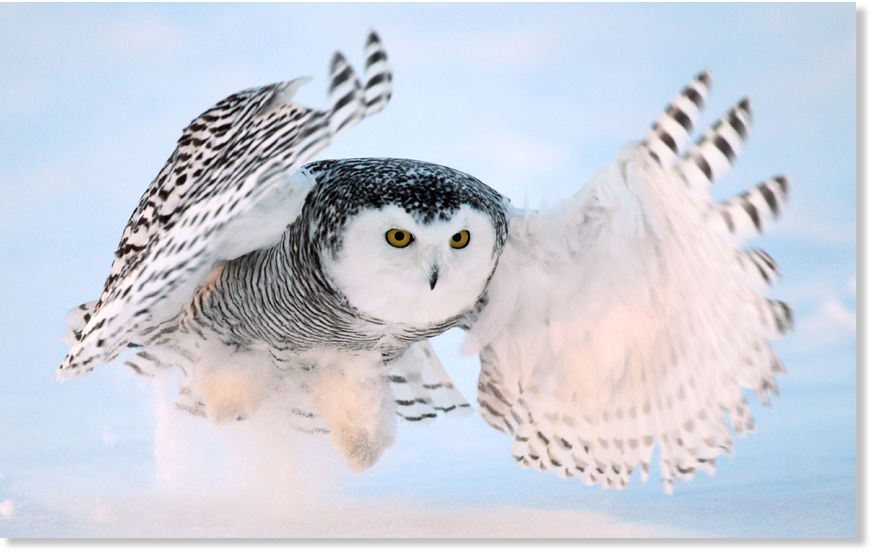 Sott Exclusive Snowy Owls Flee Northern Latitudes For