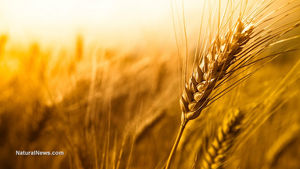 wheat_roundup