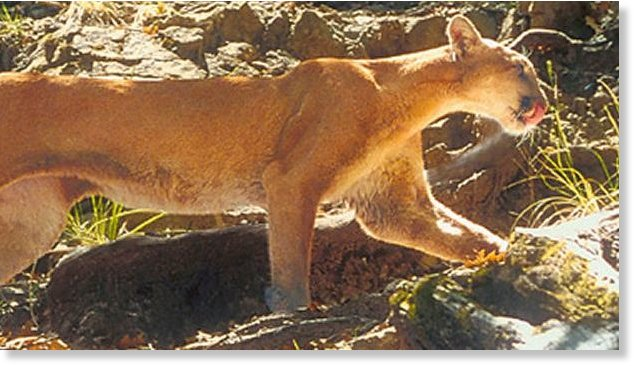 half moon bay cougar women The most recent sighting was on friday night around 7:30 pm, when deputies responded to a report of multiple mountain lion sightings in the 900 block of miramontes street in half moon bay.