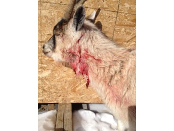 lynx attacks goat mad brawl inside living room ensues in dinorwic rh sott net goat in a rug comprehension sound of a goat in a room