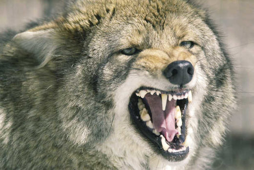 Pack of coyotes attack German Shepherd (Alsatian) in Weddington, North Carolina