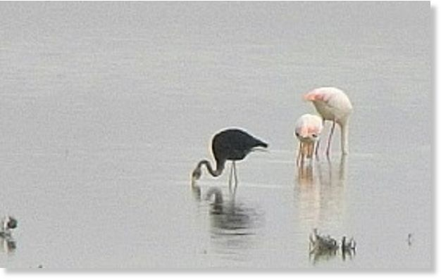 Symbolism Black Flamingo Possibly Unique Found In Cyprus Earth