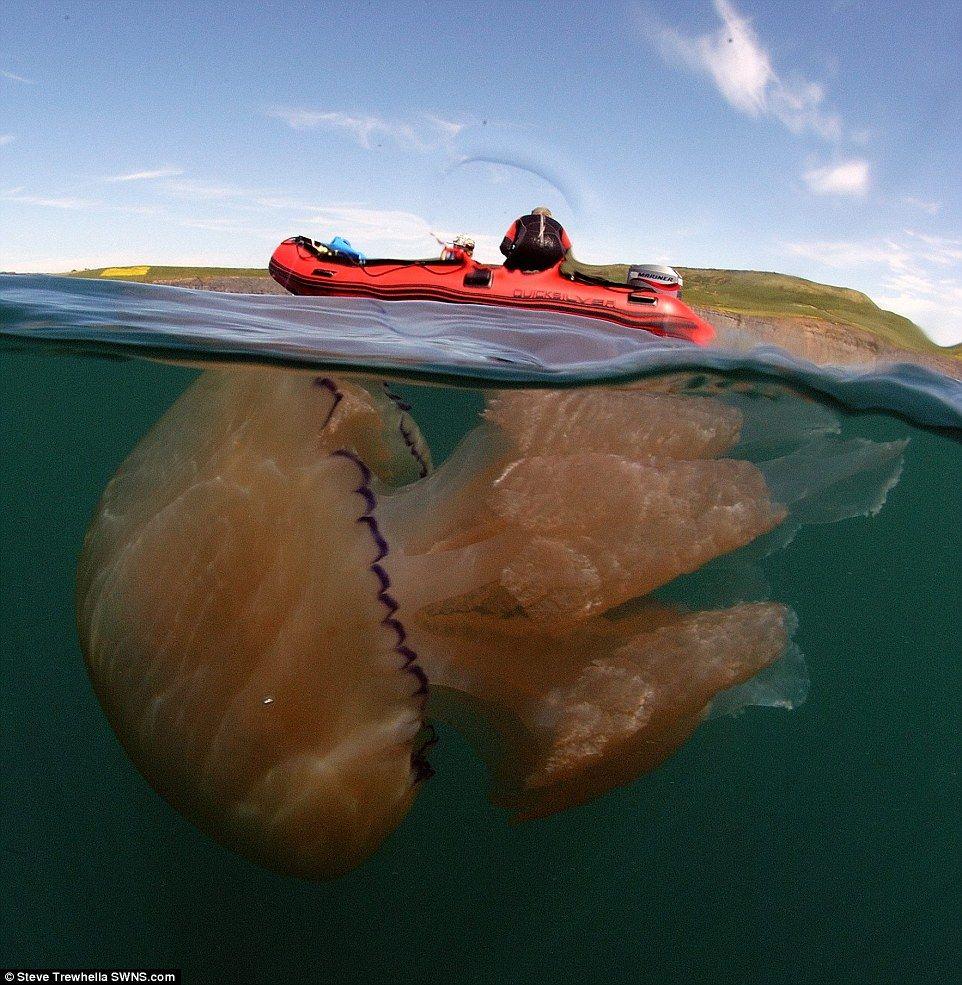 Tasmanian giant jellyfish - photo#27