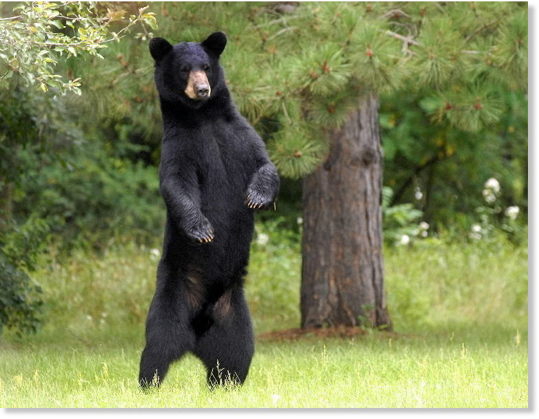Black Bear Attacks Man In Lincoln National Forest New