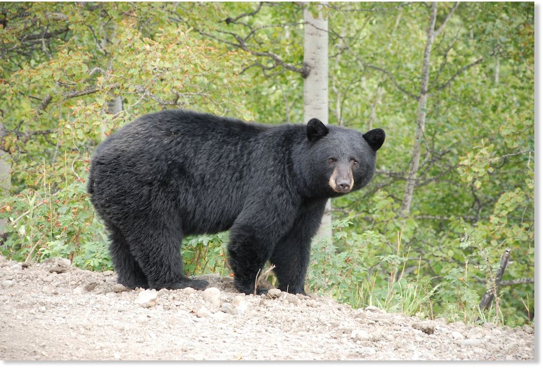2 Bear Attacks On People Near Revelstoke British Columbia